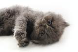 Sweet persian kitten poster