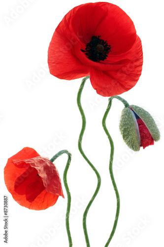 Staande foto Poppy Mohnblüte