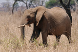 Eliphant In Tarangire N.P.