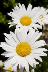 Close up of Daisies