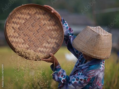 Foto op Plexiglas Indonesië Frau bei der Reisernte