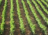 dalmatian vineyard poster