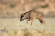 Newborn blue wildebeest calf, Kalahari desert, South Africa