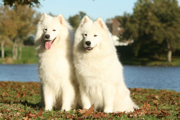 Couple de samoyede