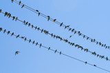 many swallows on wire, over blue sky background poster