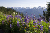Wildflowers blooming in summer in Olympic National Park poster