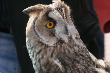 Owl in the daylight