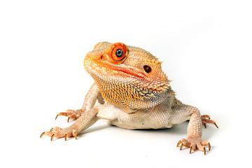 Color Morph Bearded Dragon