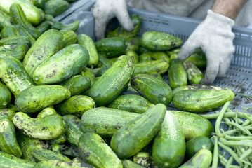 Shiny green cucumbers being delivered to a market.