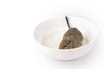 degu in the sandy bath