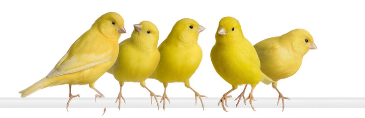 Flock of Yellow canary