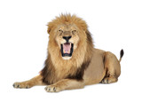 Lion in front of a white background - Fine Art prints