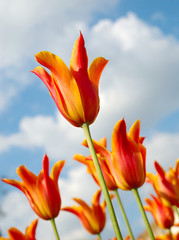 Rows of tulips against blue sky