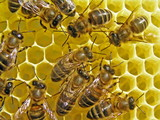 Bees build honeycombs poster