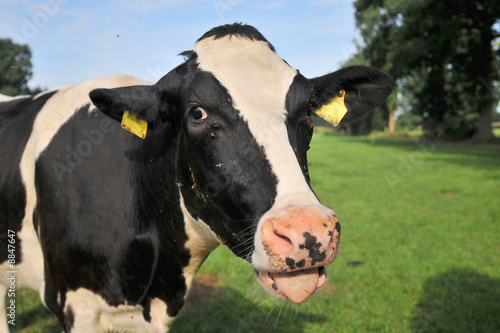 Black and white cow in the green farmland
