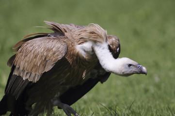 Griffon-vulture portrait