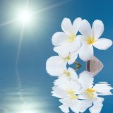 Tropical flower Plumeria alba and seashell in the sea poster