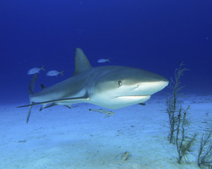 Reef Shark 3