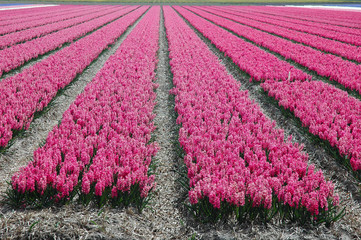 Dutch Hyacinth Fields