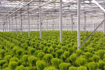 trimmed conifers in a greenhouse