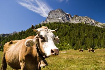 Mucca al pascolo all'Alpe Veglia