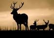 Leader Of The Herd (Red Deer Cervus Elaphus)