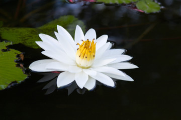 Tropical single white water lily in middle of remote pond .