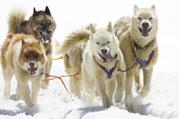 Dogsledding with Huskies in Swiss Alps, Switzerland