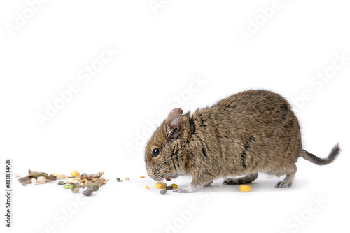 degu with food