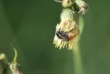 ape dentro il fiore poster