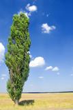slender poplar on wind poster