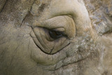 Close up of rhinoceros showing eye