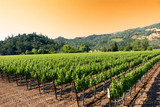 Fototapety A vineyard in the wine growing region of Napa in California.