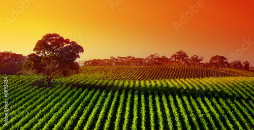 Beautiful Vineyard Landscape with large gum tree - 8892424