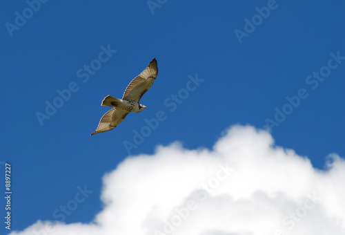 Red-tail hawk soaring through the clear blue sky