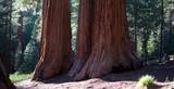 Sequoias in der Mariposa Grove im Yosemite National Park poster