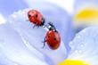 Quadro flower petal with ladybug.
