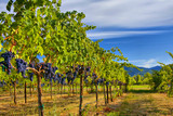 Merlot Grapes on Vine in Vineyard HDR poster