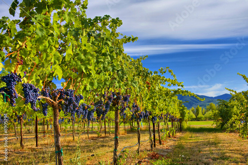 Merlot Grapes on Vine in Vineyard HDR