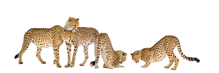 Group of Cheetah