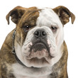 roleta: english Bulldog (6 months) in front of a white background
