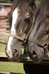 Close up Of two Horse heads. Two horses together