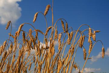 Ripen wheat plant on blue (sky) background