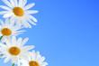 Daisy flowers macro on light blue background