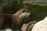 Malasian short clawed Otter poster
