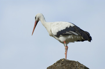 Beautiful stork and nest with sky background