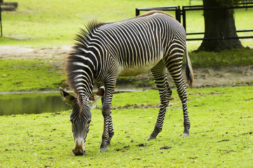 Zebra grasing with natural greenish background