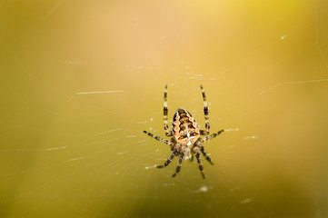Cross spider in web with blurry background