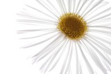 beautiful white spring marguerite against white background - 8930628