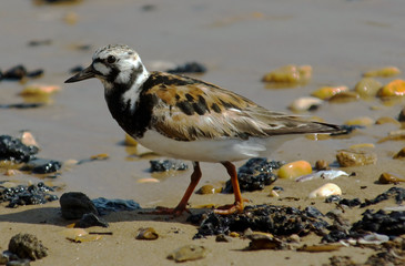 Ruddy Turnstone walking on a pebbled beach.